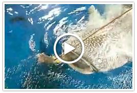 ジンベエザメの食事の様子(194秒)