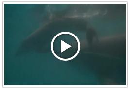 イルカの出産(148秒)