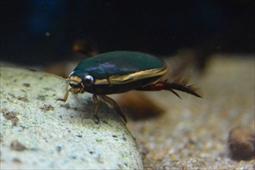 コガタノゲンゴロウ