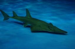 モノノケトンガリサカタザメ