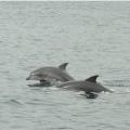 鹿児島湾鯨類【イルカ】調査