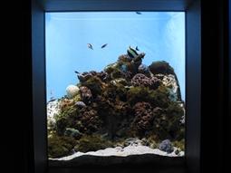 桜島周辺で見られる造礁サンゴの様子