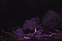 タギリカクレエビ水槽の様子